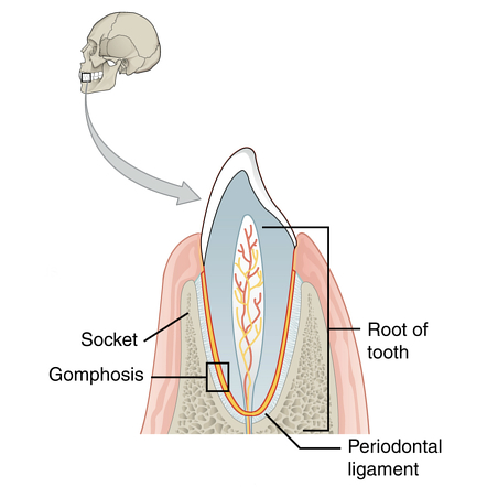 Fibrous Joints Radiology Reference Article Radiopaedia Org Gomphosis.—gomphosis is articulation by the insertion of a conical process into a socket; fibrous joints radiology reference