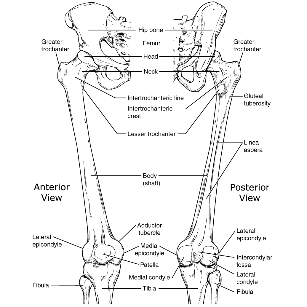 lower extremities diagram lower limb bones  illustrations  image radiopaedia org  lower limb bones  illustrations