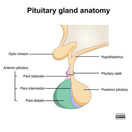 Pituitary gland | Radiology Reference Article | Radiopaedia.org