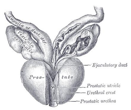 prostata anatomie zonen mrt