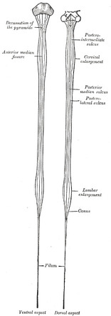 Filum Terminale Dissection – In 1953 garceau hypothesized that spinal cord traction was caused by a tight filum terminale.4 he discovered that after cutting the filum terminale, patients would recover from incontinence and neurological deficits in.