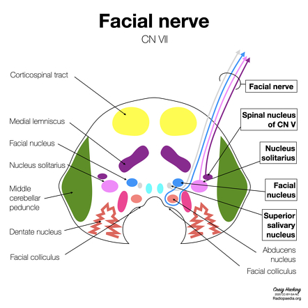 Facial Nerve Radiology Reference Article Radiopaedia Org Olfactory cribiform foramina in cribiform plate. facial nerve radiology reference