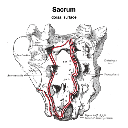 Sacrum Radiology Reference Article Radiopaedia Org Filum termina´le a slender, threadlike prolongation of connective tissue from the conus medullaris to the back of the coccyx. radiopaedia org