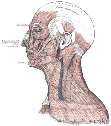 Galea aponeurosis